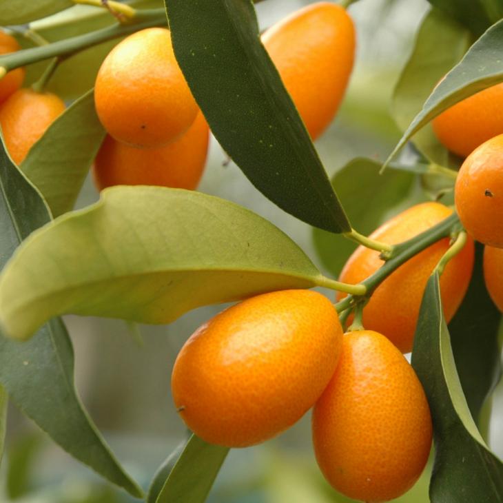 Dalla Cina arriva il Kumquat, un signor mandarino