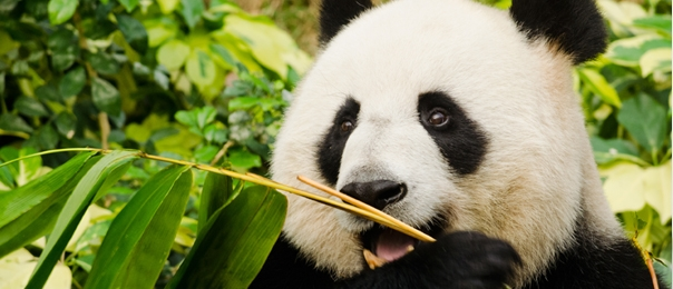 I Panda amano le torte speciali